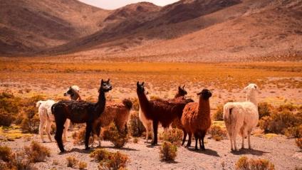 Anticuerpos de alpacas contra el Covid-19: Así se aplicará el tratamiento